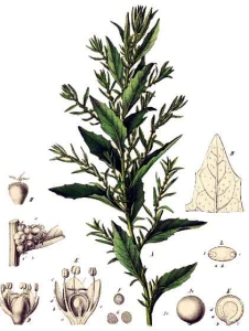 Epazote (Dysphania ambrosioides)
