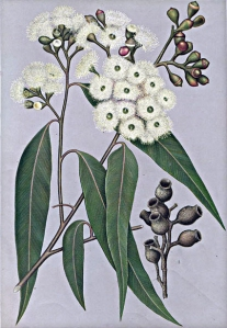 Eucalyptus citronné (Corymbia citriodor)