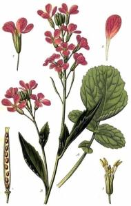 Julienne des dames (Hesperis matronalis)