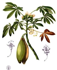 Kapokier (Ceiba pentandra)