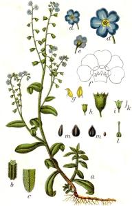 Myosotis des marais (Myosotis scorpioides)
