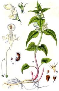 Ortie blanche (Lamium album)