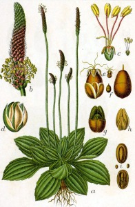 Plantain intermédiaire (Plantago media)