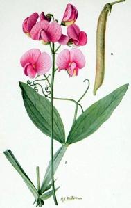 Pois vivace (Lathyrus latifolius)