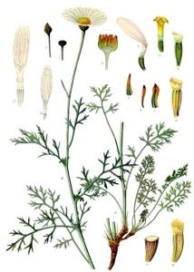 Pyrèthre de Dalmatie (Tanacetum cinerariifolium)