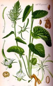 Raiponce en épi (Phyteuma spicatum)