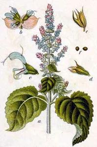 Sauge sclarée (Salvia sclarea)