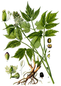 actee-en-epi-actaea-spicata