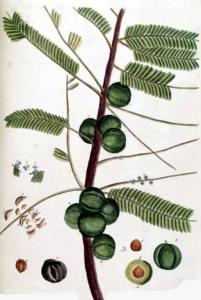 amla-phyllanthus-emblica