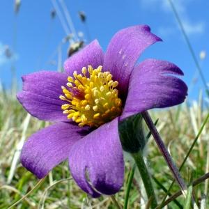 anemone-pulsatille