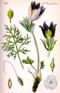 anemone-pulsatilla%ef%bb%bf
