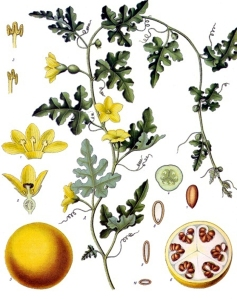 coloquinte-officinale-citrullus-colocynthis