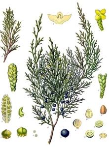 genevrier-sabine-juniperus-sabina