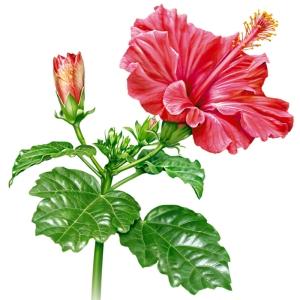hibiskus-hibiscus