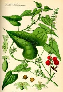 igname-dioscorea-villosa