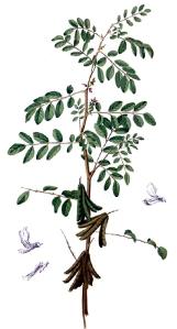 indigotier-indigofera-tinctoria