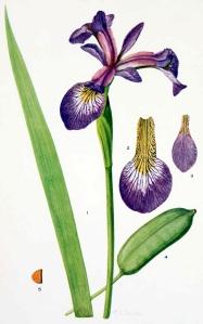 iris-versi