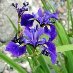 iris-versicolore