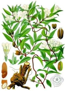jasmin-jaune-gelsemium-sempervirens