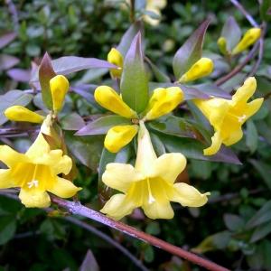 jasmin-jaune