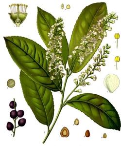 laurier-cerise-prunus-laurocerasus