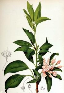 laurier-des-montagnes-kalmia-latifolia