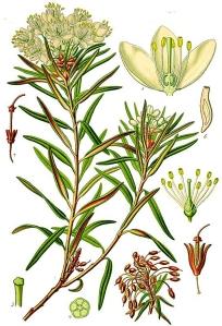ledon-des-marais-rhododendron-tomentosum