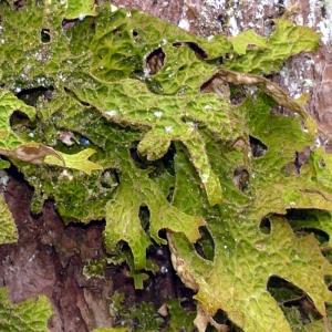 lichens-pulmonaire