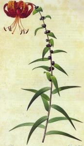 lis-tigre-lilium-lancifolium