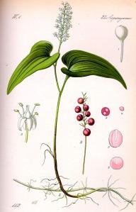 maiantheme-a-deux-feuilles-maianthemum-bifolium