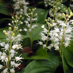 maiantheme-a-deux-feuilles