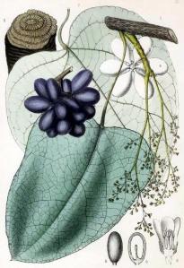 pareira-chondodendron-tomentosum