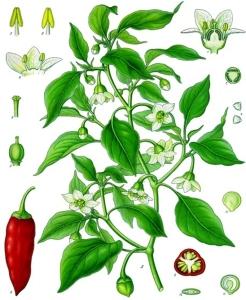 piment-capsicum-annuum