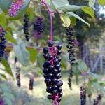 raisin-damerique