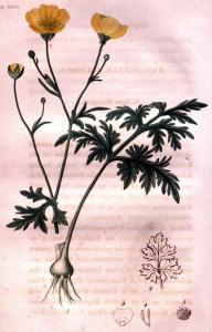 renoncule-bulbeuse-ranunculus-bulbosus