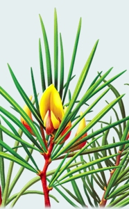 rooibos-aspalathus-linearis