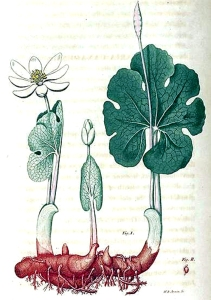 sanguinaire-du-canada-sanguinaria-canadensis