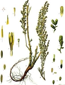 semen-contra-artemisia-cina
