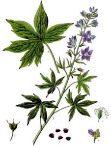 staphisaigre-delphinium-staphisagria