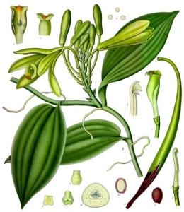 vanille-vanilla-planifolia
