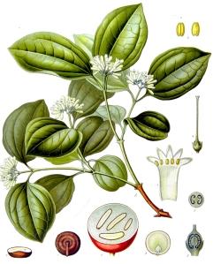 vomiquier-strychnos-nux-vomica