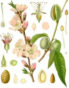 amandier-prunus-dulcis