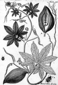 caigua-cyclanthera-pedata
