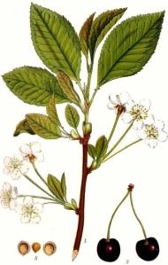cerisier-des-oiseaux-prunus-avium