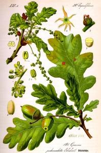 chene-quercus