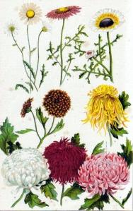 chrysantheme-chrysanthemum-morrifolium