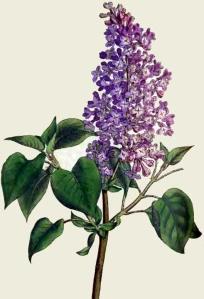 lilas-syringa-vulgaris