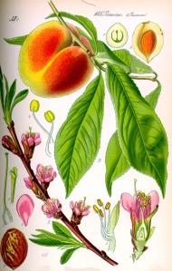 pecher-prunus-persica