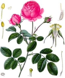 rosier-rosa-gallica
